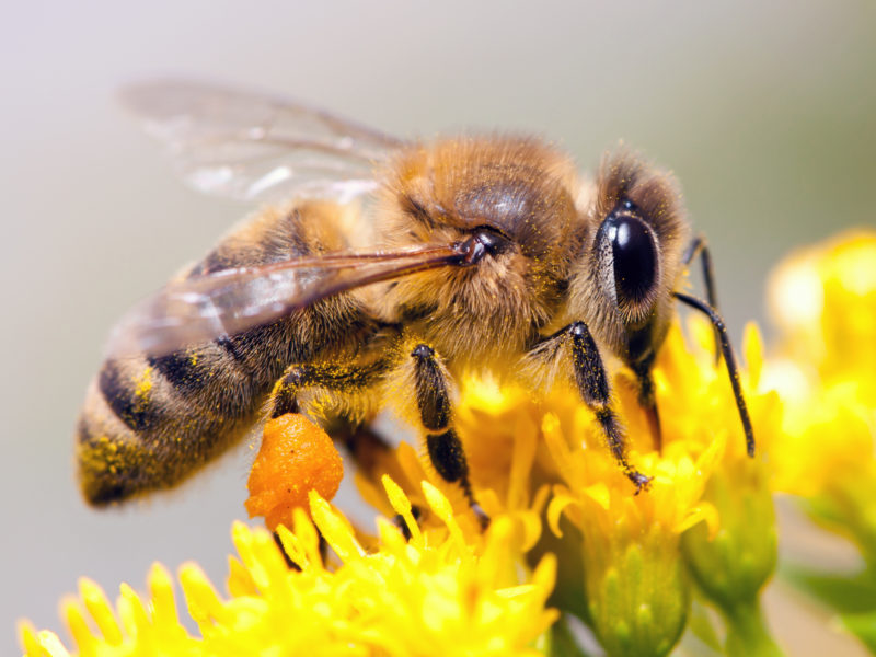 Néonicotinoïdes, le retour des tueurs d'abeilles